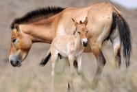 Pražská hříbata oživila populaci koní Převalského v Mongolsku