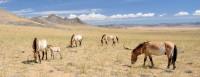 Pražské klisny s hříbaty a s hřebcem Bo v mongolské rezervaci Khomiin Tal