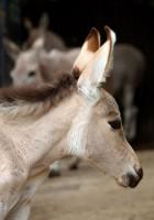 Unikátní adopce - mláděte vzácného osla se ujala adoptivní matka