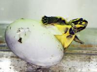 Pražská zoo rozmnožila jako první na světě želvu korunkatou
