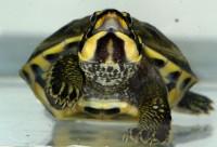 Mládě želvy korunkaté neboli diadémové - Hardella thurjii