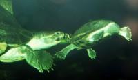 Námluvy dospělých želv korunkatých