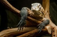 Mladý samec varana komodského v Pavilonu velkých želv