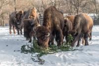 Větve z vánočního smrku ze Staroměstského náměstí potěšily zvířata v pražské zoo