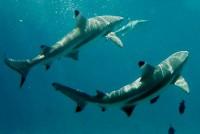 Žraloků se na Bora Bora nemusíte bát