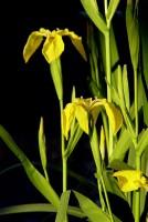 Na březích řeky na jaře kvetou žluté kosatce