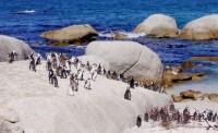 Na Boulder´s Beach se uhnízdili tučňáci