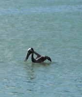 Pelikan (Autor: srr)