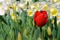 Holandské jaro začíná v Keukenhofu